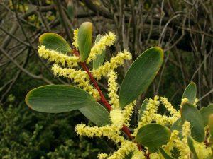 Acacia longifolia ssp. sophorae
