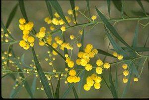 Acacia retinodes var. retinodes