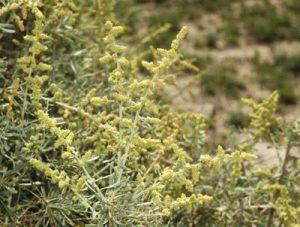 Chenopodium nitrariaceum