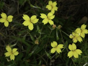 Goodenia geniculata