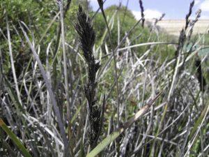 Lepidosperma viscidum