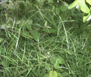 Microlaena stipoides var. stipoides