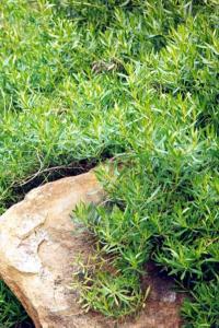 Myoporum montanum