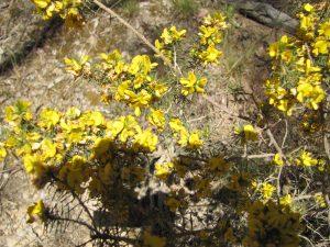 Pultenaea acerosa