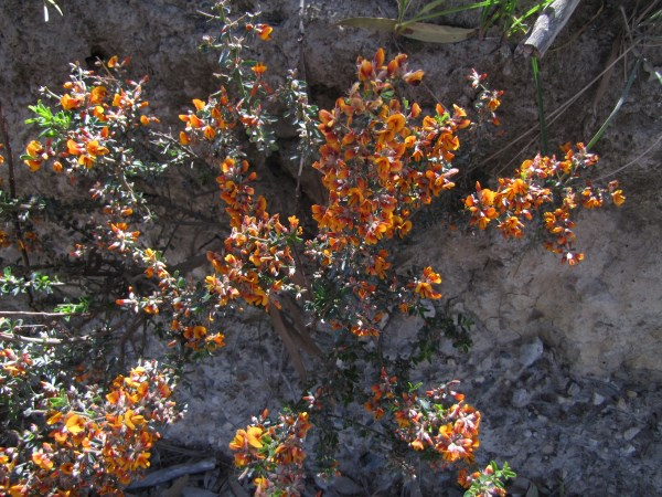 Pultenaea largiflorens butterfly conservation sa inc for 165 north terrace adelaide