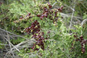 Rhagodia candolleana ssp. candolleana