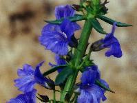 Stemodia florulenta