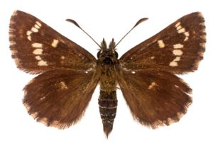 Mottled grass skipper