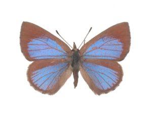 Cyprotus blue