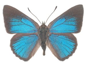 Varied Dusky-blue