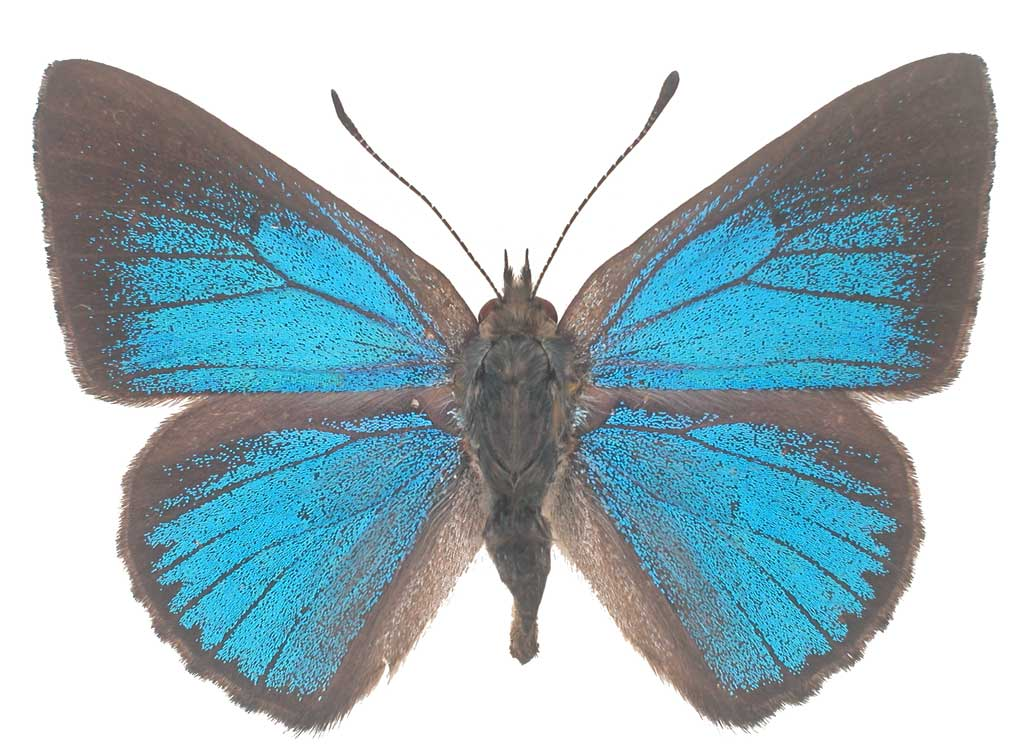 Varied dusky blue butterfly conservation sa inc for 165 north terrace adelaide
