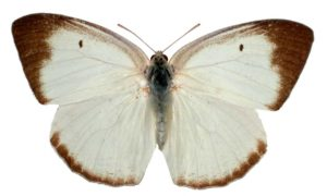 White or Common Migrant