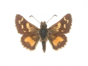 Inland Sand-skipper