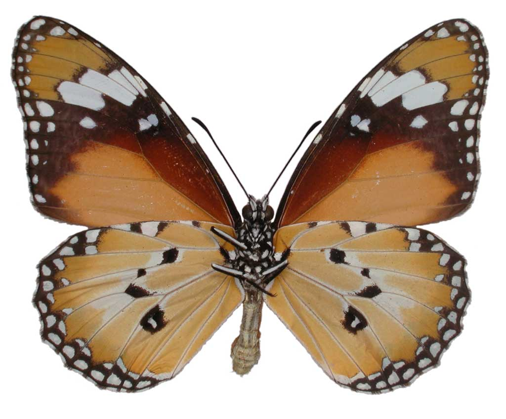 Lesser wanderer butterfly conservation sa inc for 165 north terrace adelaide