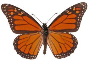 Wanderer or Monarch