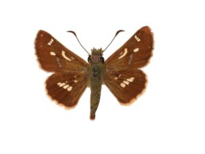 Barred Grass-skipper