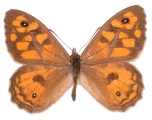 Common Xenica