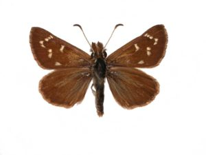 White-veined Sand-skipper