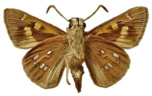 Golden-haired sedge skipper