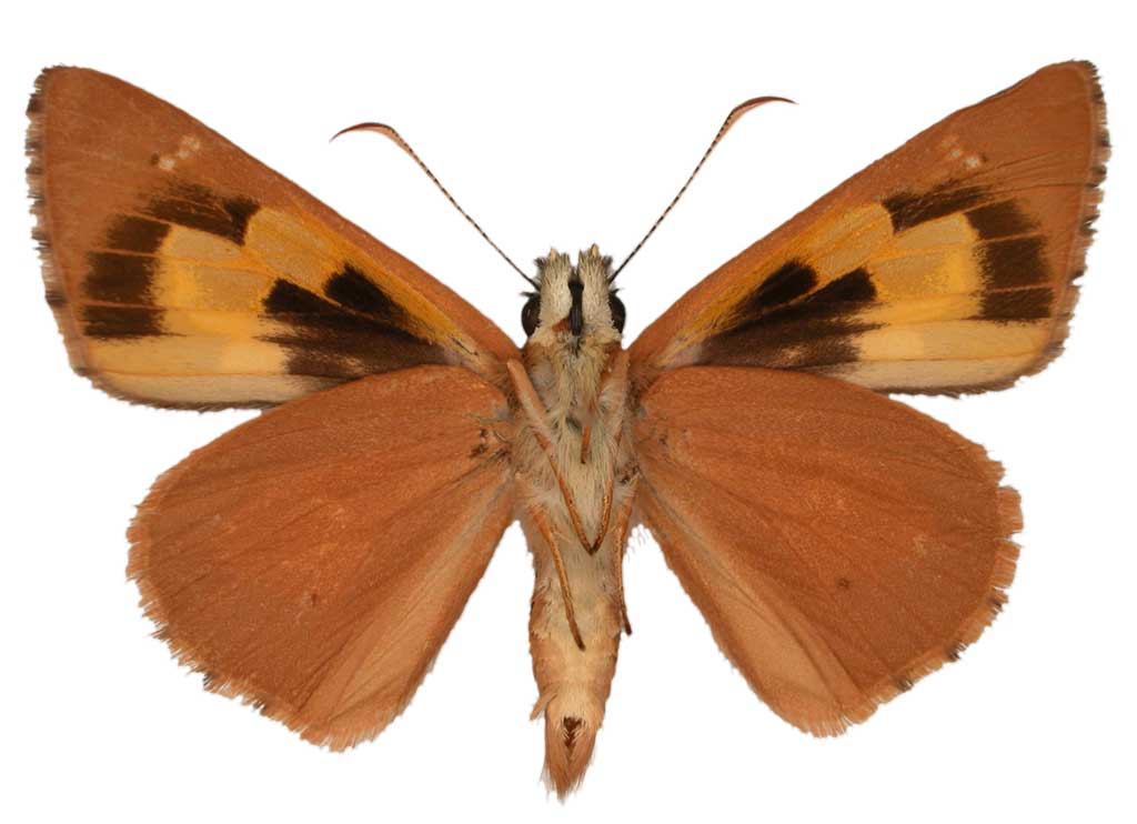 Flame sedge skipper butterfly conservation sa inc for 165 north terrace adelaide