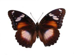 Common or Varied Eggfly Common or Varied Eggfly