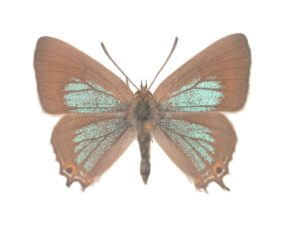 Waterhouse's Hairstreak