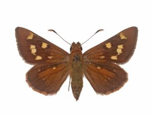Large Brown skipper
