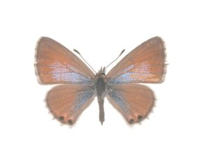 Double-spotted lineblue