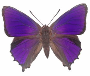 Southern purple Azure