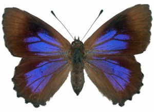 Broad-margined Azure