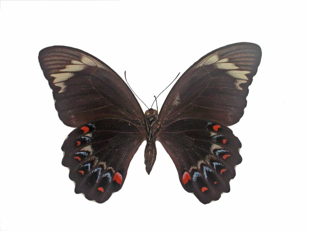 Orchard swallowtail butterfly conservation sa inc for 165 north terrace adelaide