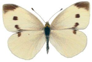 Cabbage White (pest)