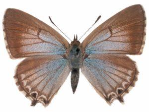 Bitterbush blue