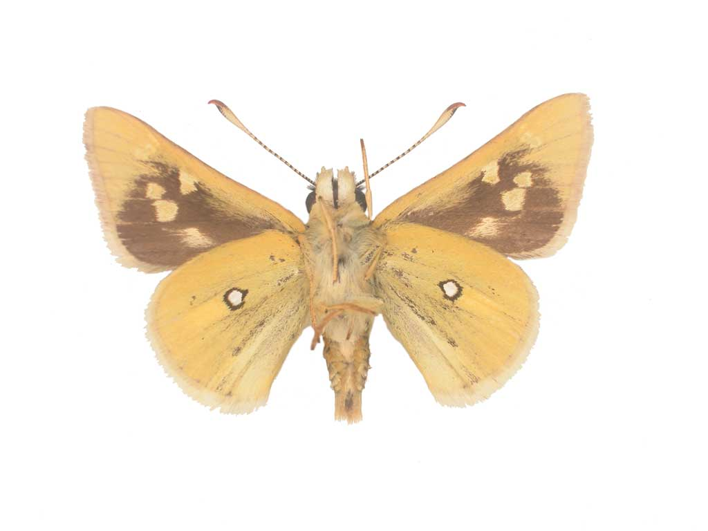 Yellow ochre butterfly conservation sa inc for 165 north terrace adelaide