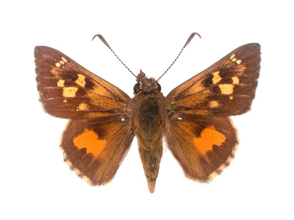Heath Ochre Butterfly Conservation Sa Inc
