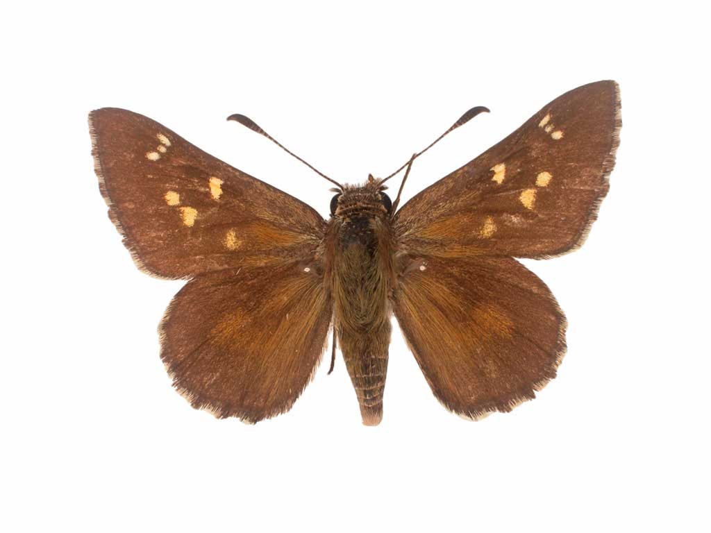 Sciron ochre butterfly conservation sa inc for 165 north terrace adelaide