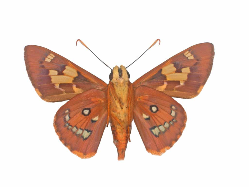 Splendid ochre butterfly conservation sa inc for 165 north terrace adelaide