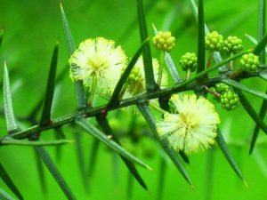 Acacia rupicola