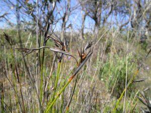 Lepidosperma carphoides
