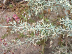 Rhagodia spinescens